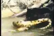 Jaguar  Anaconda เสือ จากัวร์ อนาคอนด้า งูเหลือม