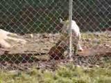 คลิป สุนัขเลี้ยงบาส หมา สุนัข บาสเก็ตบอล เก่ง