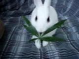 คลิป กระต่ายกินใบกันชา