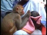 ลิงที่อินเดีย...เลี้ยงลูกคน