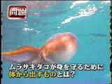การป้องกันตัวของ ปลาหมึก Tremoctopus