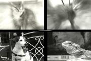 คลิป   แมวหมาประสานเสียงแถม..กิ้งก่า  ขำดีนะ