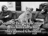 สิงโต christian lion
