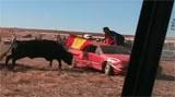 คลิป วัวดุไล่ชนรถ !!