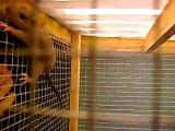 คลิป ตะกวด เหี้ย จิ้งจกยักษ์ กิน หนู โหด ธรรมชาติ  tegu