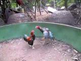 คลิป ไก่เชิงไทย  ไก่กาเหว่า ไก่ชนไทย