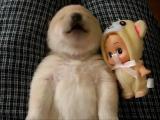 น้องหมา Shiba Inu น่ารัก!