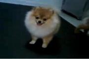 สุนัข, หมา, ปอม, ตลก, น่ารัก