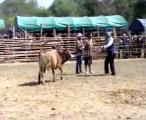 คลิป วัวชนคู่แรกyomson01