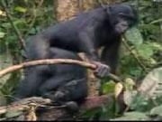 ลิง โบนาโบ mongkey สารคดี สัตว์โลก animal