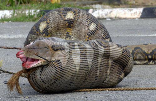 งู แมงมุม ใหญ่ พิษ อันตราย น่ากลัว