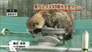 ทานูกิน้อยถูกขังในน้ำพุหน้าที่ทำการในฟูกูชิม่า