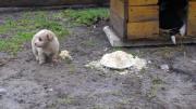 คลิป ศึกครั้งนี้การันตีด้วย อาหารจานโปรด ลูกหมา ปะทะ ฝูงเป็ด