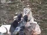 ฝูงสุนัข  ดุ  ไล่  เห่า  สิงโตภูเขา  จนมุม  ปาก  เหว  หน้าผา  เกือบตก  ผา  สัตว์