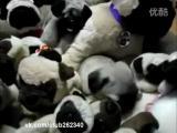 คลิป น้องหมามหัศจรรย์!! ปรับตัวให้เข้ากันกับสิ่งแวดล้อม การปรับตัว ตุ๊กตาหมา สุนับปรับตัว หมาในกองตุ๊กตา