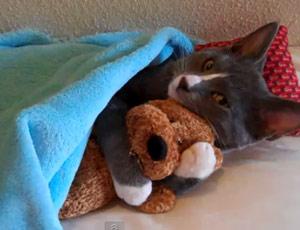 แมวกอดตุ๊กตาหมี น้องแมวนอนกอดตุ๊กตาหมี น่ารักมาก