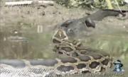 งูเหลือมยักษ์vsกิยจระเข้ยักษ์