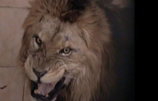 หวาดเสียว ใจกล้า เหย่ อาบัง สิงโต  น่ากลัว