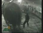คลิป สุดสลด!ช้างถูกทรมาน คณะละครสัตว์สุดโหด