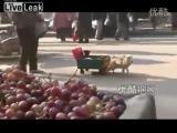 คลิป สุนัขลากของ สุนัขลากรถ หมาลากของ สุนัขลากเลื่อน หมาลากเลื่อน หมาฉลาด สุนัขฉลาด  หมาในจีน