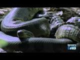 ใหญ่มาก ยักษ์ใหญ่ อนาคอนด้าเขมือบ จระเข้ กลืนเข้าไปทั้งตัวเลย งูยักษ์ แปลก Anaco