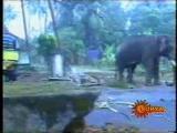 ช้าง ตกมัน ฆ่า คน