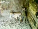 ลิง แพะ ข่มขืน