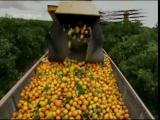 มาดู  กรรมวิธีการผลิต น้ำส้ม