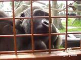 คลิป คลิปน่ารัก! ลิงกอริลลา จ้องหนอน