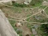ลูกลิง ลิง ไต่เชือก ตก