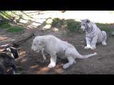 คลิป เพื่อนรัก ต่าง สปีชี่ส์ บลูด็อก เสือ สิงโต