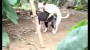 คลิป หมาหื่น ข่มขึนแมว