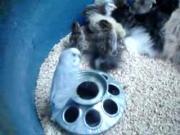 คลิป แมว เลี้ยง ลูกไก่   แสงดาว   Thai   Comedy   Commercial   Laugh   Funny   Parody   Lakorn   นักมายาก
