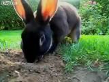 แล้วเจ้าของบ้านต้องเอาดินมากลบสวนใหม่ไหมเนี่ยเจ้ากระต่ายขุดสวนหลังบ้านเป็นโพลงซะ