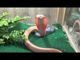 งูเห่าเผือก น่ากลัว แต่หาดูยากแล้ว