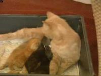 เมื่อแม่แมวรรับกระต่ายมาเลี้ยง