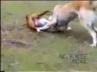 หมา หมากัดกัน สู้ สัตว์เลี้ยง