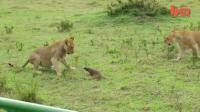 พังพอน สิงโต