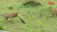 พังพอนใจเด็ด ลุยเดี่ยวฝูงสิงโต