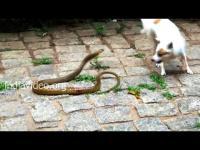 คลิป หมา vs งู ชัด ๆ เลยทีเดียว