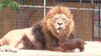 หมาน้อย กับสิงโตผู้อารี