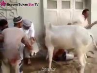 วัว หนีตายสุดฤิทธิ์เมื่อรู้ว่าจะต้องตาย
