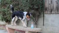คลิป น้องหมาสุดฉลาดเปิดขวดน้ำดื่มเองได้เฉยเลย