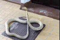 งูจงอางเผือก King cobra