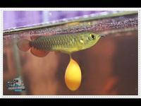 ปลาสวยงาม,ปลาอโรวาน่า,LoveFishClub