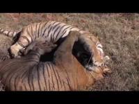 คลิป เสือโคร่งสู้กันเพื่อแย่งชิงการเป็นหัวหน้า