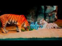เสือ สัตว์น่ารัก น่ารัก ดูเล่น สิงโต สวนสัตว์ เขาเขียว
