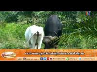 เรื่องเล่าเช้านี้ - ชาวบ้านแห่ชมลูกวัวสายพันธุ์ใหม่ผสมกระทิงป่าที่ชุมพร
