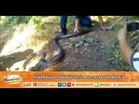 เรื่องเล่าเช้านี้ - กู้ภัยรุดจับงูจงอางยักษ์ ยาวกว่า 4 ม. กลางสวนปาล์มกระบี่