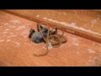 พยาธิเลื้อยออกมาจากตัวแมงมุม อย่าดูตอนกินข้าว